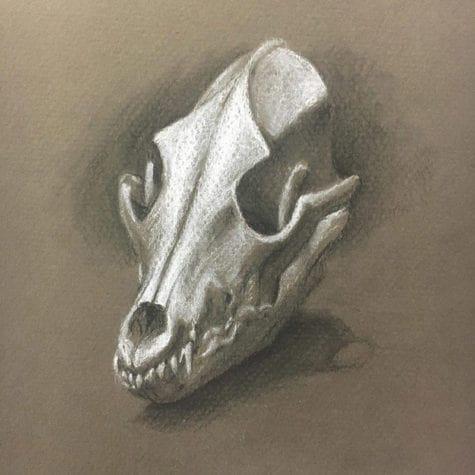 Kylah Heykoop coyote_skull